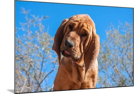 Bloodhound Puppy-Zandria Muench Beraldo-Mounted Photographic Print