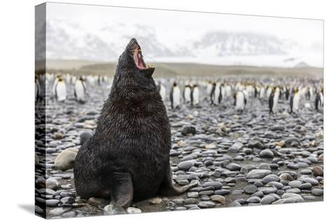 South Georgia Island, Salisbury Plains. Fur Seal Makes Warning Call to Protect His Territory-Jaynes Gallery-Stretched Canvas Print