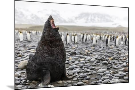 South Georgia Island, Salisbury Plains. Fur Seal Makes Warning Call to Protect His Territory-Jaynes Gallery-Mounted Photographic Print