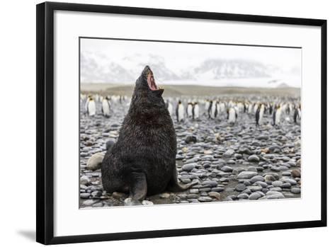 South Georgia Island, Salisbury Plains. Fur Seal Makes Warning Call to Protect His Territory-Jaynes Gallery-Framed Art Print