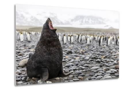 South Georgia Island, Salisbury Plains. Fur Seal Makes Warning Call to Protect His Territory-Jaynes Gallery-Metal Print