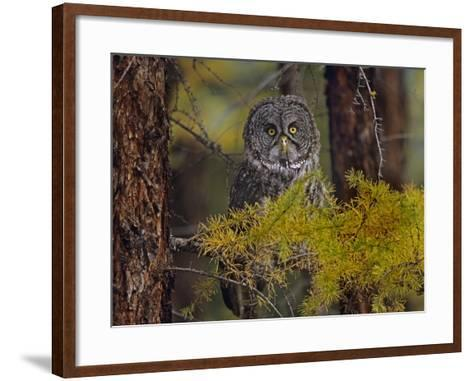 Great Gray Owl Perched in a Forest, British Columbia, Canada-Tim Fitzharris-Framed Art Print