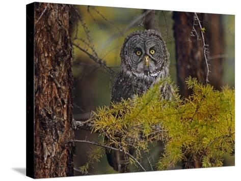Great Gray Owl Perched in a Forest, British Columbia, Canada-Tim Fitzharris-Stretched Canvas Print