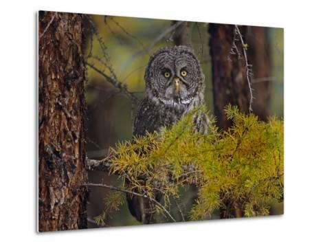 Great Gray Owl Perched in a Forest, British Columbia, Canada-Tim Fitzharris-Metal Print
