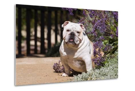 Bulldog Sitting on Garden Pathway-Zandria Muench Beraldo-Metal Print