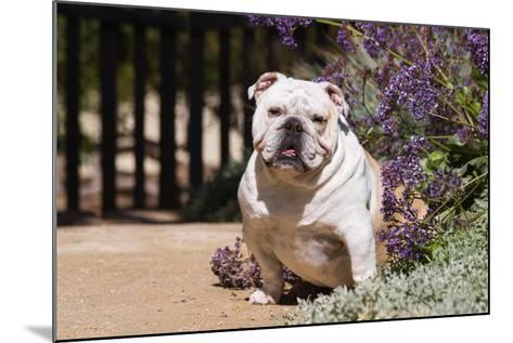 Bulldog Sitting on Garden Pathway-Zandria Muench Beraldo-Mounted Photographic Print