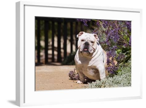 Bulldog Sitting on Garden Pathway-Zandria Muench Beraldo-Framed Art Print
