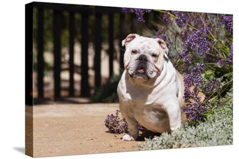 Bulldog Sitting on Garden Pathway-Zandria Muench Beraldo-Stretched Canvas Print