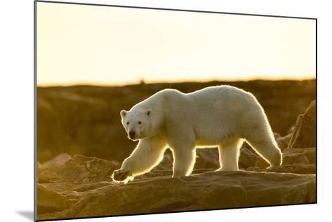 Canada, Setting Midnight Sun Lights Polar Bear Walking Along Rocky Shoreline by Hudson Bay-Paul Souders-Mounted Photographic Print