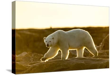 Canada, Setting Midnight Sun Lights Polar Bear Walking Along Rocky Shoreline by Hudson Bay-Paul Souders-Stretched Canvas Print
