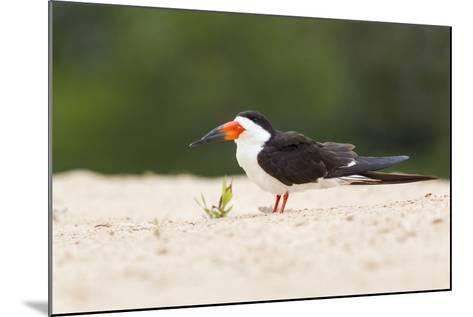 Brazil, Mato Grosso, the Pantanal, Black Skimmer on the Beach Sand-Ellen Goff-Mounted Photographic Print