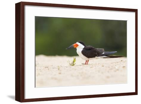 Brazil, Mato Grosso, the Pantanal, Black Skimmer on the Beach Sand-Ellen Goff-Framed Art Print