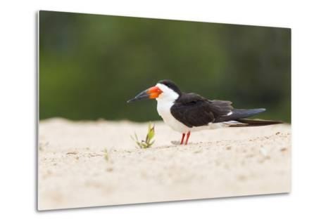 Brazil, Mato Grosso, the Pantanal, Black Skimmer on the Beach Sand-Ellen Goff-Metal Print