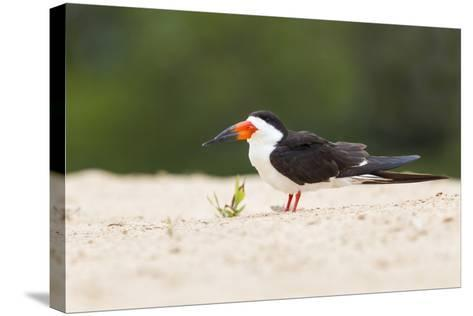 Brazil, Mato Grosso, the Pantanal, Black Skimmer on the Beach Sand-Ellen Goff-Stretched Canvas Print