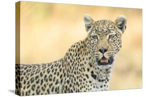Botswana. Okavango Delta. Khwai Concession. Leopard Looks Out for Prey-Inger Hogstrom-Stretched Canvas Print
