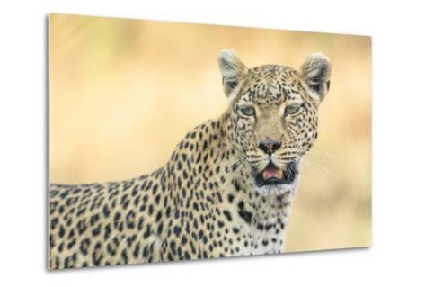 Botswana. Okavango Delta. Khwai Concession. Leopard Looks Out for Prey-Inger Hogstrom-Metal Print