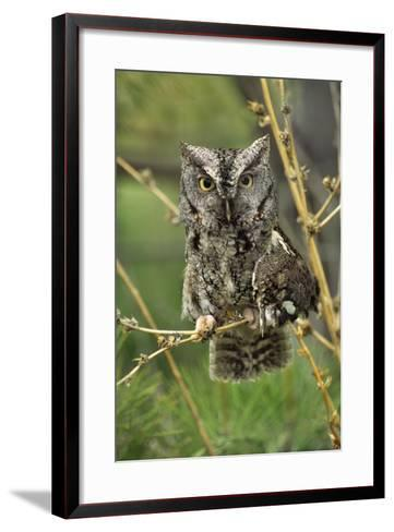 Eastern Screech Owl with a Drooping Wing, British Columbia, Canada-Tim Fitzharris-Framed Art Print