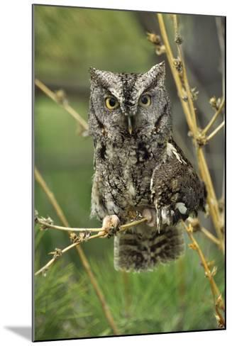 Eastern Screech Owl with a Drooping Wing, British Columbia, Canada-Tim Fitzharris-Mounted Photographic Print