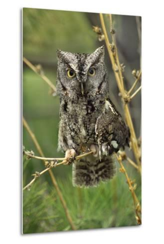 Eastern Screech Owl with a Drooping Wing, British Columbia, Canada-Tim Fitzharris-Metal Print