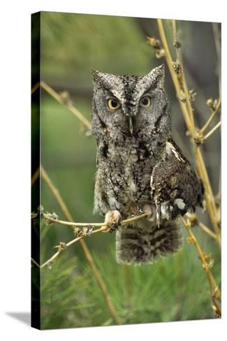 Eastern Screech Owl with a Drooping Wing, British Columbia, Canada-Tim Fitzharris-Stretched Canvas Print