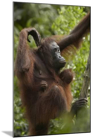 Orangutan Mother and Baby in a Tree, Sabah, Malaysia-Tim Fitzharris-Mounted Photographic Print