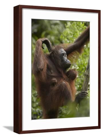 Orangutan Mother and Baby in a Tree, Sabah, Malaysia-Tim Fitzharris-Framed Art Print