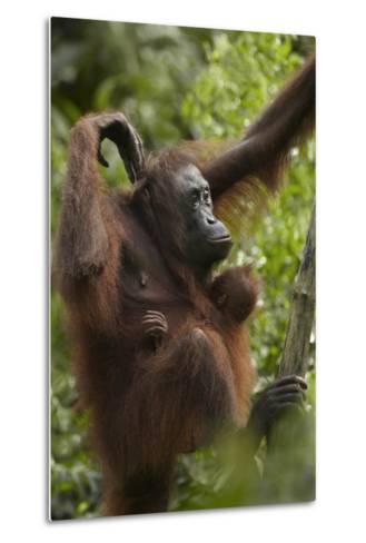 Orangutan Mother and Baby in a Tree, Sabah, Malaysia-Tim Fitzharris-Metal Print