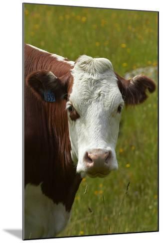 Cow, Matukituki Valley, Near Wanaka, Otago, South Island, New Zealand-David Wall-Mounted Photographic Print