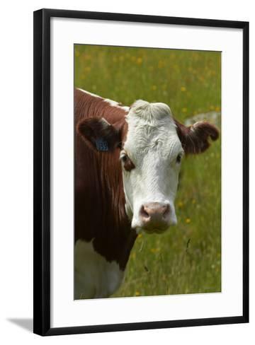 Cow, Matukituki Valley, Near Wanaka, Otago, South Island, New Zealand-David Wall-Framed Art Print
