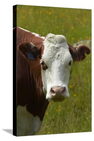 Cow, Matukituki Valley, Near Wanaka, Otago, South Island, New Zealand-David Wall-Stretched Canvas Print