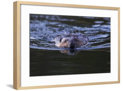 Beaver Swimming in Pond-Ken Archer-Framed Art Print