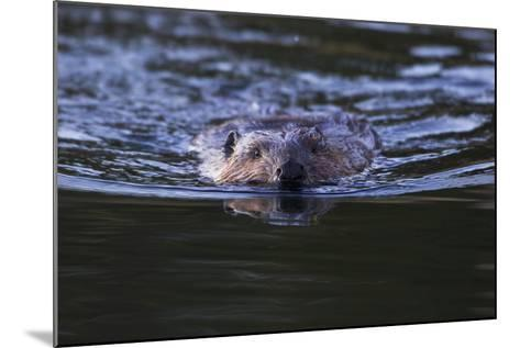 Beaver Swimming in Pond-Ken Archer-Mounted Photographic Print