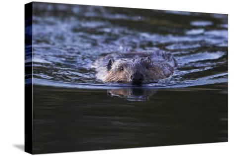 Beaver Swimming in Pond-Ken Archer-Stretched Canvas Print