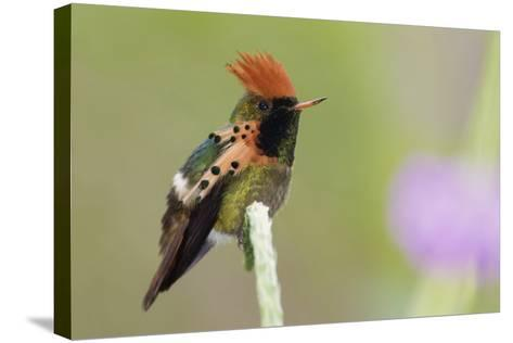 Tufted Coquette Hummingbird-Ken Archer-Stretched Canvas Print