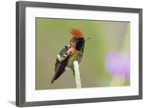 Tufted Coquette Hummingbird-Ken Archer-Framed Art Print