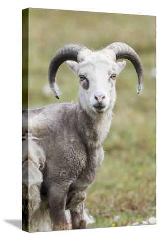 Foula Sheep on the Island of Foula. Shetland Islands, Scotland-Martin Zwick-Stretched Canvas Print
