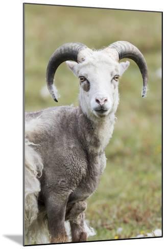 Foula Sheep on the Island of Foula. Shetland Islands, Scotland-Martin Zwick-Mounted Photographic Print