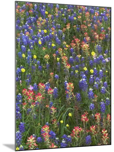 Bluebonnets, Paintbrushes and False Dandelion Near Cat Spring, Texas, Usa-Tim Fitzharris-Mounted Photographic Print