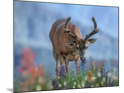 Mule Deer in Velvet, Olympic National Park, Washington State, Usa-Tim Fitzharris-Mounted Photographic Print