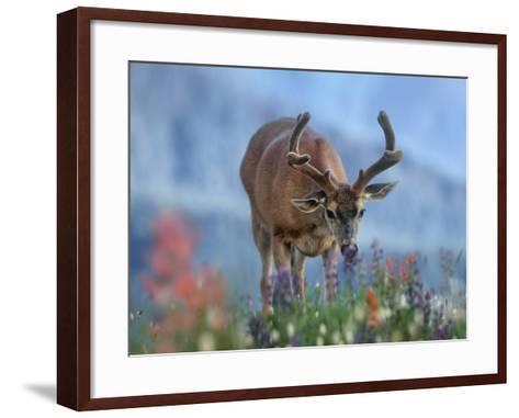 Mule Deer in Velvet, Olympic National Park, Washington State, Usa-Tim Fitzharris-Framed Art Print