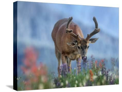 Mule Deer in Velvet, Olympic National Park, Washington State, Usa-Tim Fitzharris-Stretched Canvas Print