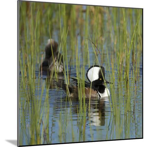 Pair of Hooded Mergansers,Viera Wetlands, Florida, Usa-Maresa Pryor-Mounted Photographic Print