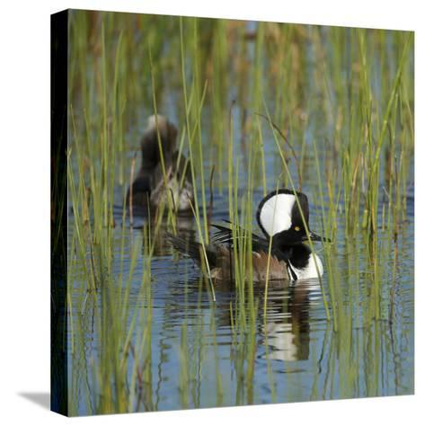 Pair of Hooded Mergansers,Viera Wetlands, Florida, Usa-Maresa Pryor-Stretched Canvas Print