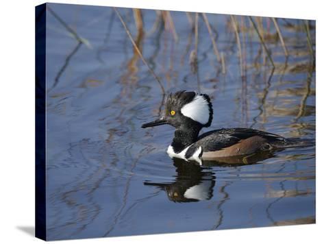 Hooded Merganser, Viera Wetlands, Florida, Usa-Maresa Pryor-Stretched Canvas Print