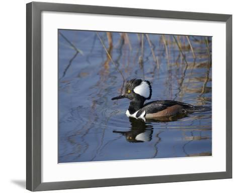 Hooded Merganser, Viera Wetlands, Florida, Usa-Maresa Pryor-Framed Art Print