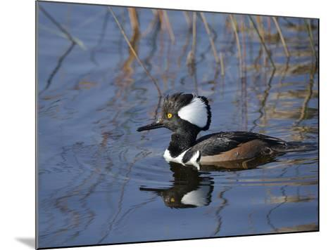 Hooded Merganser, Viera Wetlands, Florida, Usa-Maresa Pryor-Mounted Photographic Print