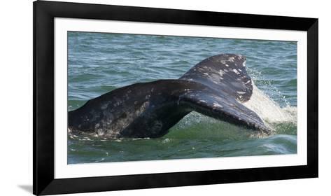 Mexico, Baja California, Gray Whale Flukes Exposed, Diving in the San Ignacio Lagoon, Sea of Cortez-Judith Zimmerman-Framed Art Print