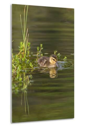 Mottled Duck Duckling on Pond-Larry Ditto-Metal Print