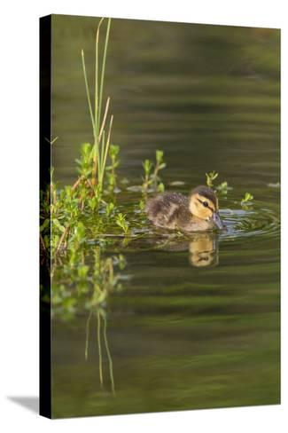 Mottled Duck Duckling on Pond-Larry Ditto-Stretched Canvas Print