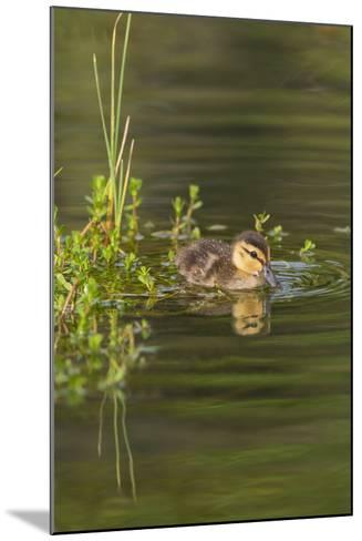 Mottled Duck Duckling on Pond-Larry Ditto-Mounted Photographic Print